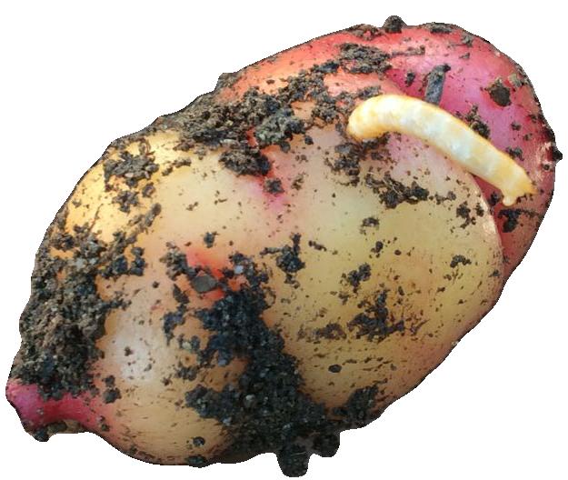 Как избавитьсяот проволочника в картошке на участке: как выглядит на фото вредитель, как вывести его осенью, а также инструкция как бороться спаразитом