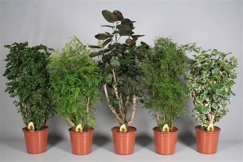 Пентас: описание, фото цветка, выращивание, уход в домашних условиях