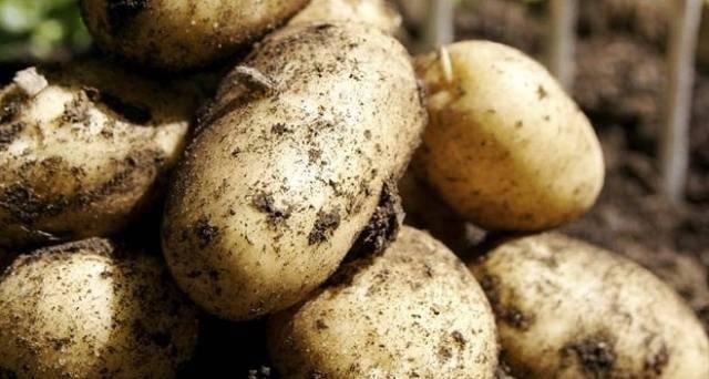 Картофель ласунок: описание и характеристика сорта, фото, отзывы