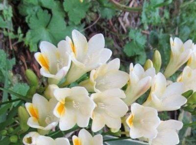 Посадка фрезии в открытый грунт: выращивание и уход
