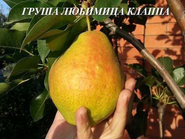 Груша нарядная ефимова описание сорта фото отзывы - дневник садовода gossort68.su