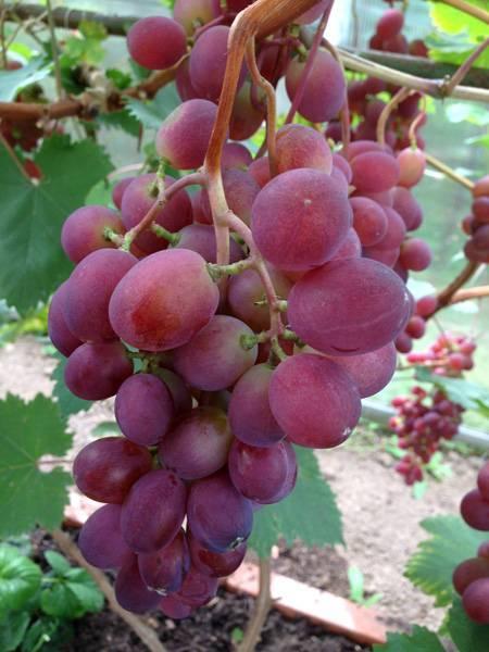 Описание сорта винограда виктория: фото и отзывы   vinograd-loza