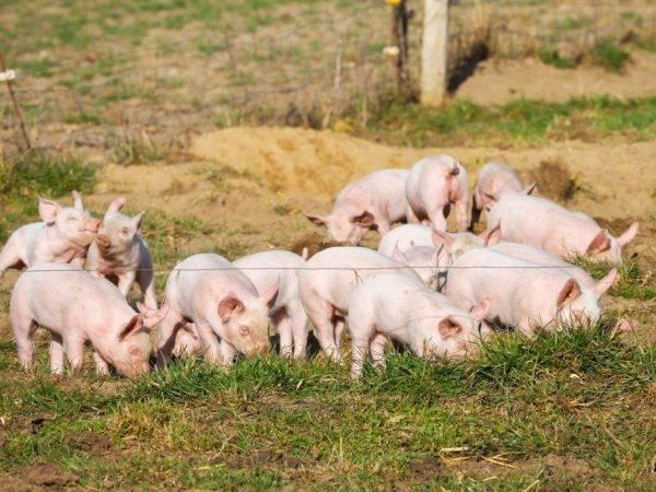 Комбикорм для свиней своими руками, состав корма, как сделать в домашних условиях рецепты