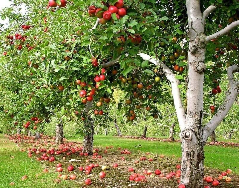 Низкорослые сорта яблонь