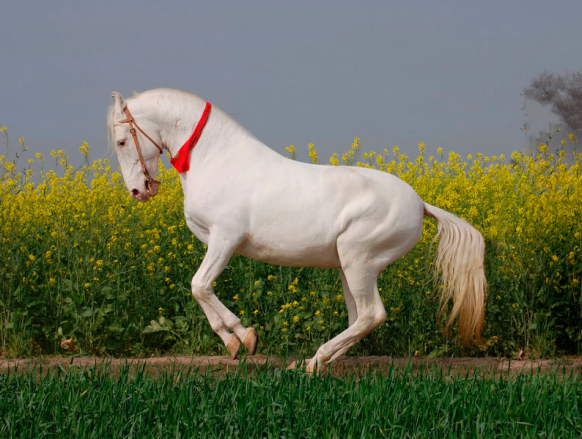 Марварская лошадь