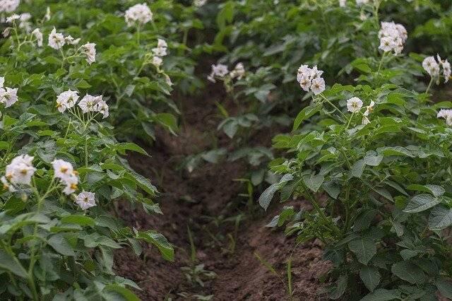 Цветение картофеля: хорошо или плохо