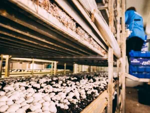 Бизнес выращивание белых грибов – бизнес-план с расчетами