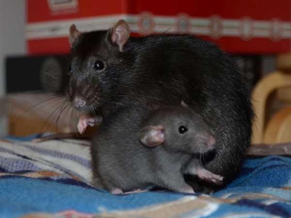 Как избавиться от крыс в курятнике - навсегда народными средствами