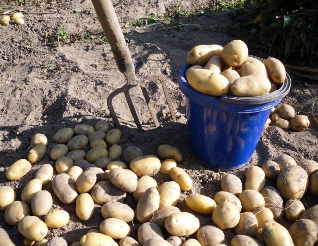 Сынок картофель описание. описание сорта картофеля сынок, или богатырь | зелёный сад