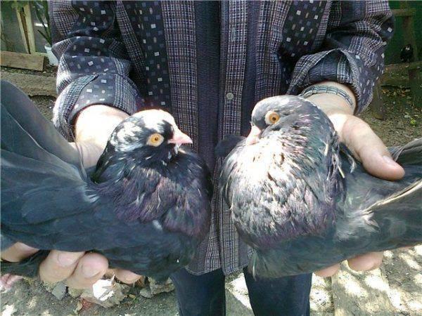 Характеристика торцовых голубей и их разновидностей с описанием стиля полета