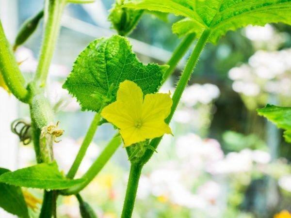 Огурец анзор: описание, выращивание, уход, фото