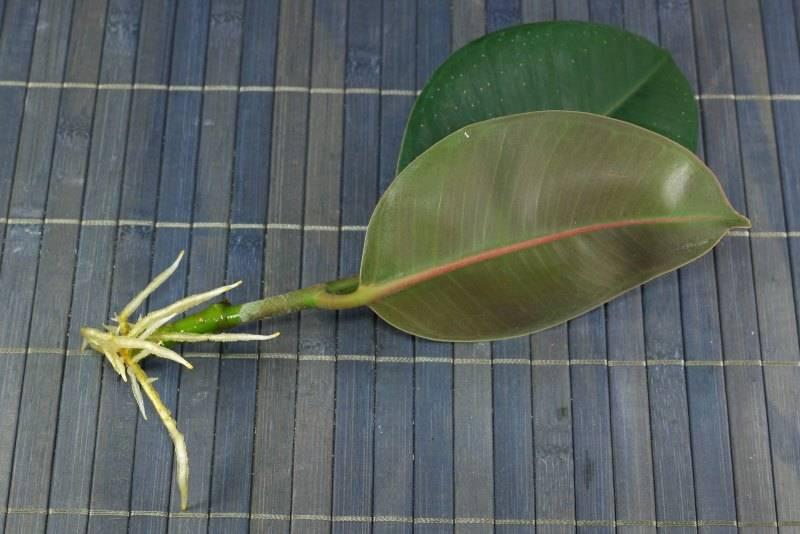 Фикус каучуконосный: размножение и уход