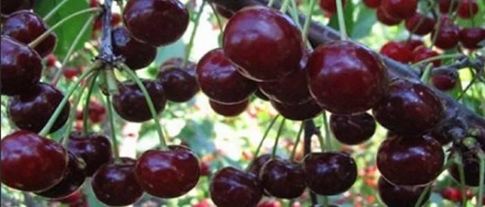 Фото и описание сорта вишни шоколадница