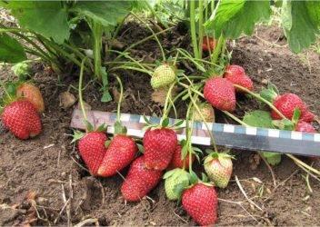 Секреты выращивания клубники в сибири и ухода за ней в холодном климате - ягоды   описание, советы, отзывы, фото и видео