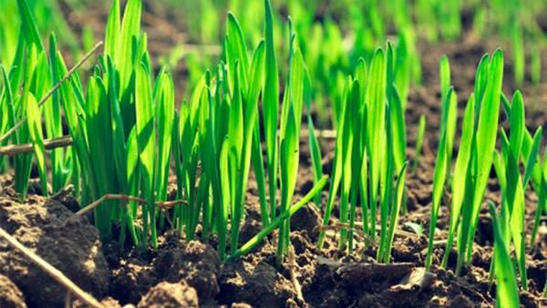 Посев озимой пшеницы — глубина, качество, тонкости