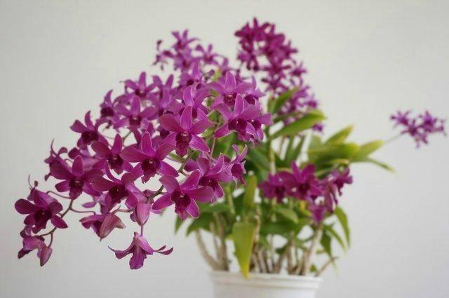 Орхидея дендробиум нобиле: всё о выращивании и уходе в домашних условиях