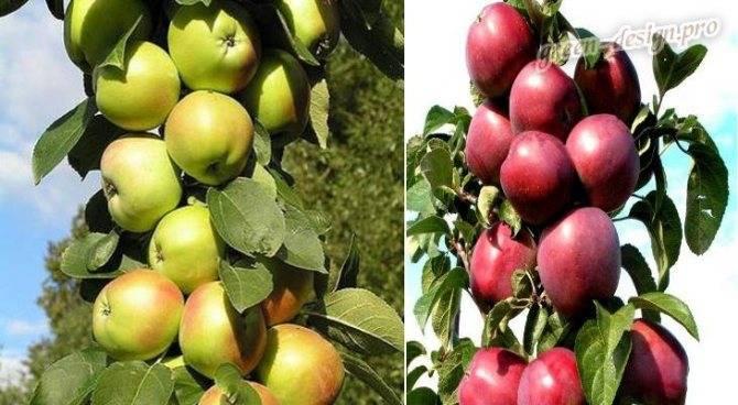 Посадка яблони осенью в ленинградской области: сроки посадки, когда и как сажать, какие яблони подходят