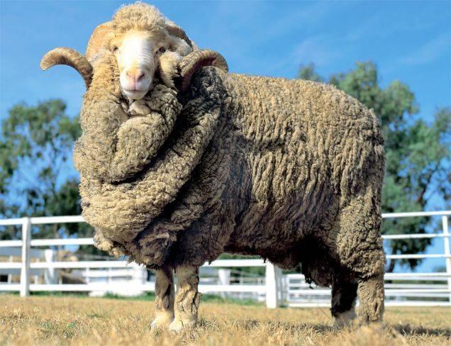 Овцы мериносы: характеристики породы, обзор подвидов