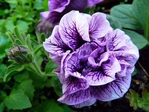 Правильное прищипывание петунии значительно увеличивает ее цветение