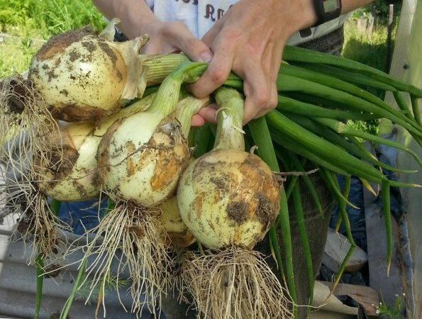 Лук эксибишен: выращивание из семян и как его сажать