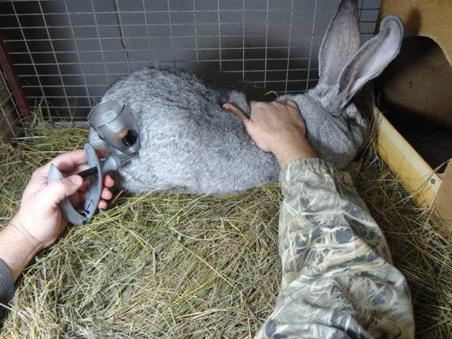 Прививки для кроликов: правила и график вакцинации домашних животных