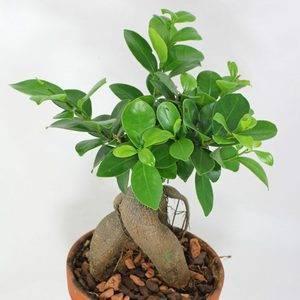 Фикус микрокарпа (34 фото): описание разновидности «гинсенг» или «женьшень». что сделать, если фикус сбрасывает листья? особенности размножения черенками и ухода