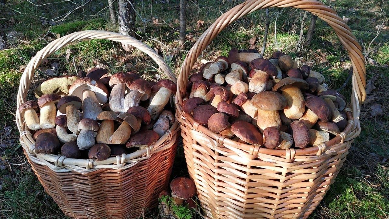 Луговые грибы: съедобные, ядовитые, названия, особенности, сроки плодоношения, географическое распространение
