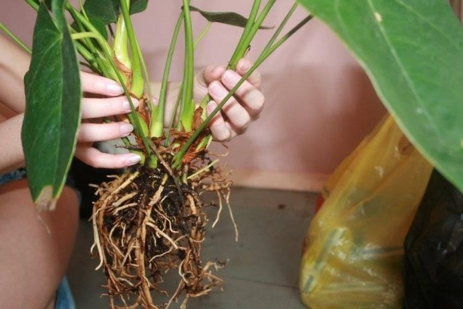 Особенности ухода за антуриумом, ответы на вопросы почему антуриум: не цветёт, желтеют, сохнут и чернеют листья.
