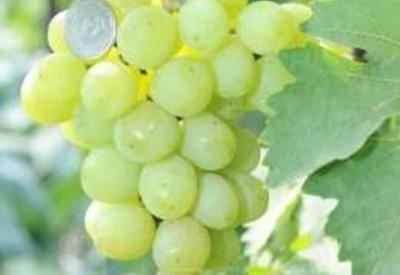 Виноград алекса: характеристика и описание сорта, особенности ухода и выращивания, фото, видео
