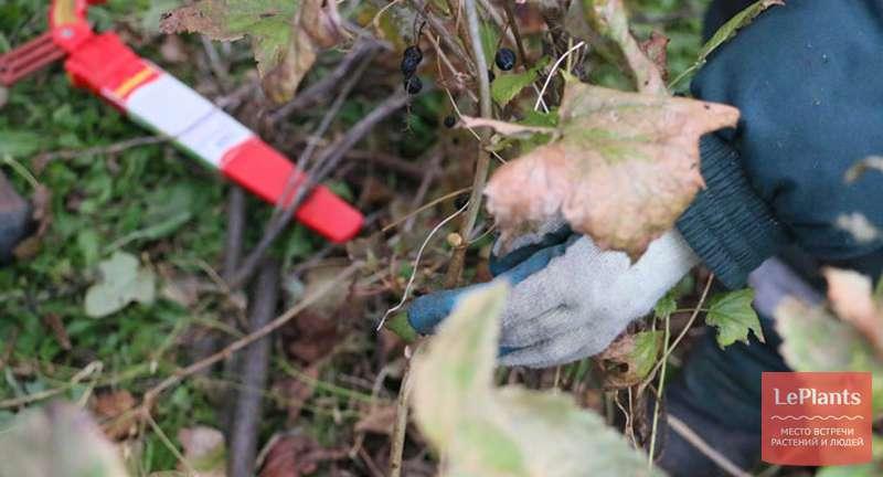 Как обрезать смородину осенью: ежегодная и альтернативная схема