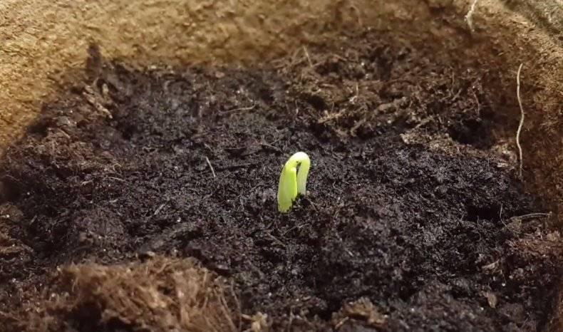 Посадка кабачков в 2021 году: когда сеять на рассаду и в открытый грунт, сроки
