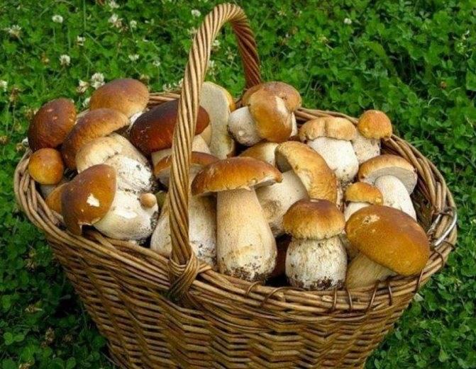 Как чистить белые грибы