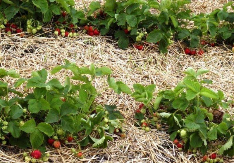 Подкормка клубники: получаем много ягод