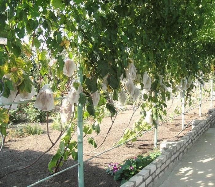 Беседка для винограда своими руками: схема и виды, видео и фото