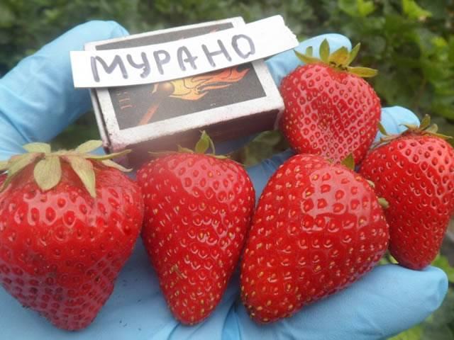 Клубника мурано: описание сорта и характеристики, выращивание и размножение с фото