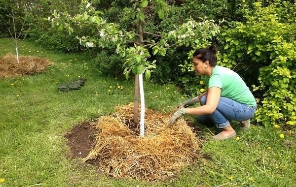 Приствольные круги деревьев - как обустроить цветник под деревом