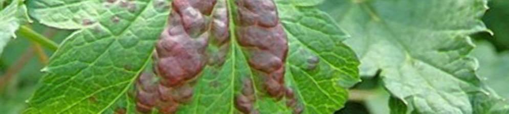 У смородины скручиваются листья: чем обработать и как бороться