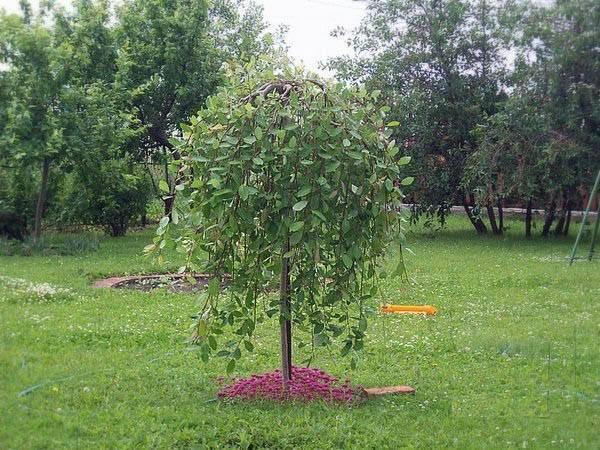 Ива дерево - советы по применению ивы в дизайне участка. особенности выращивания и посадке дерева (115 фото)