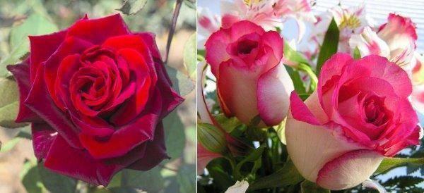 Выращивание, посадка и уход за голландскими розами в открытом грунте и теплице + описание цветка, лучшие сорта с фото