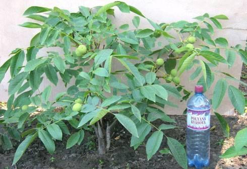 Фундук из орешка: проращивание и посадка в домашних условиях