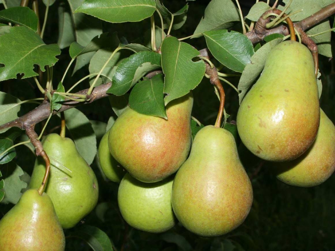 Сорта груш летнего, осеннего и зимнего срока созревания