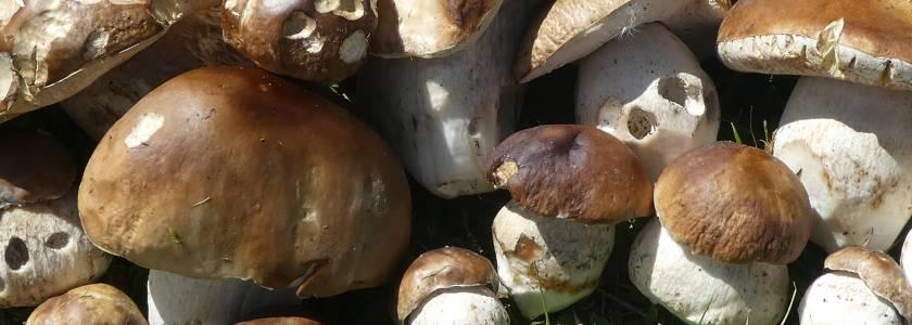 Выращивание шампиньонов в открытом грунте на даче
