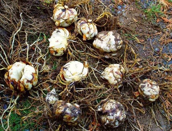 Когда пересаживать лилии: осенью или весной? как правильно это сделать?