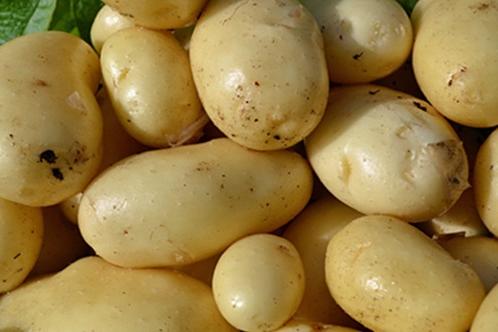 Картофель бриз описание сорта отзывы