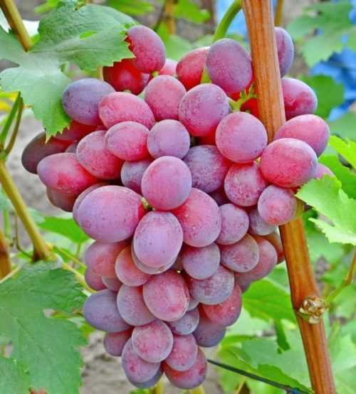 Сорт винограда подарок несветая: фото, отзывы, описание, характеристики.