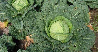 Вредители капусты в открытом грунте: народные средства борьбы / какой химией обработать капусту и защитить ее от вредителей?