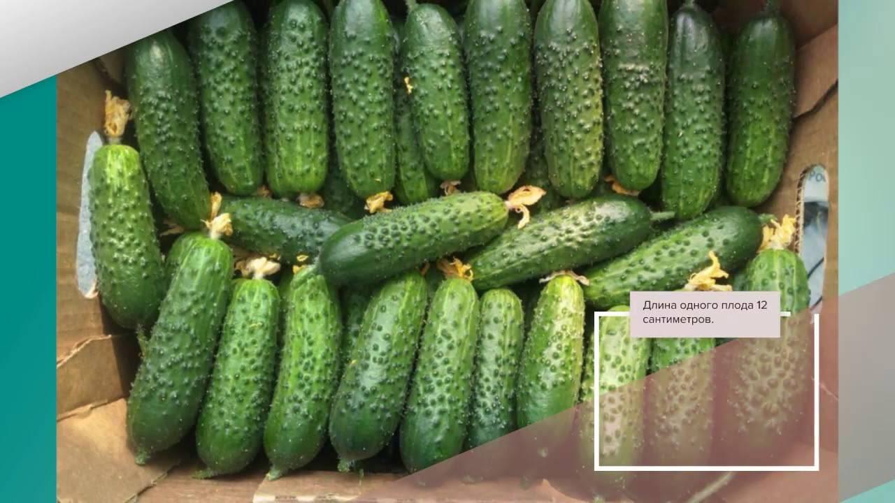Сорт огурцов «вятский f1»: достоинства гибрида и технология выращивания