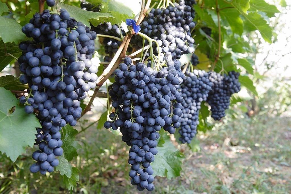 Виноград галбена ноу: описание сорта с характеристикой и отзывами, особенности посадки и выращивания, фото
