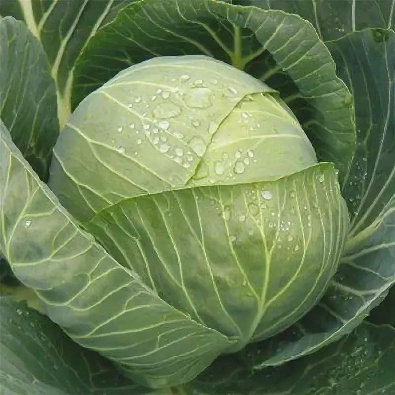 Капуста крюмон: описание сорта, урожайность, отзывы
