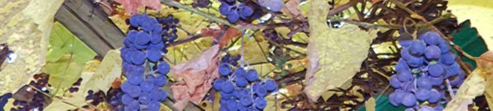 Виноград альфа: описание сорта, все правила выращивания